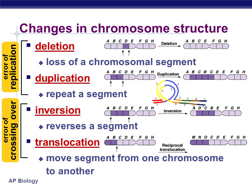 AP Biology Changes in chromosome structure deletion loss of a chromosomal segment duplication repeat a segment inversion reverses a segment translocat