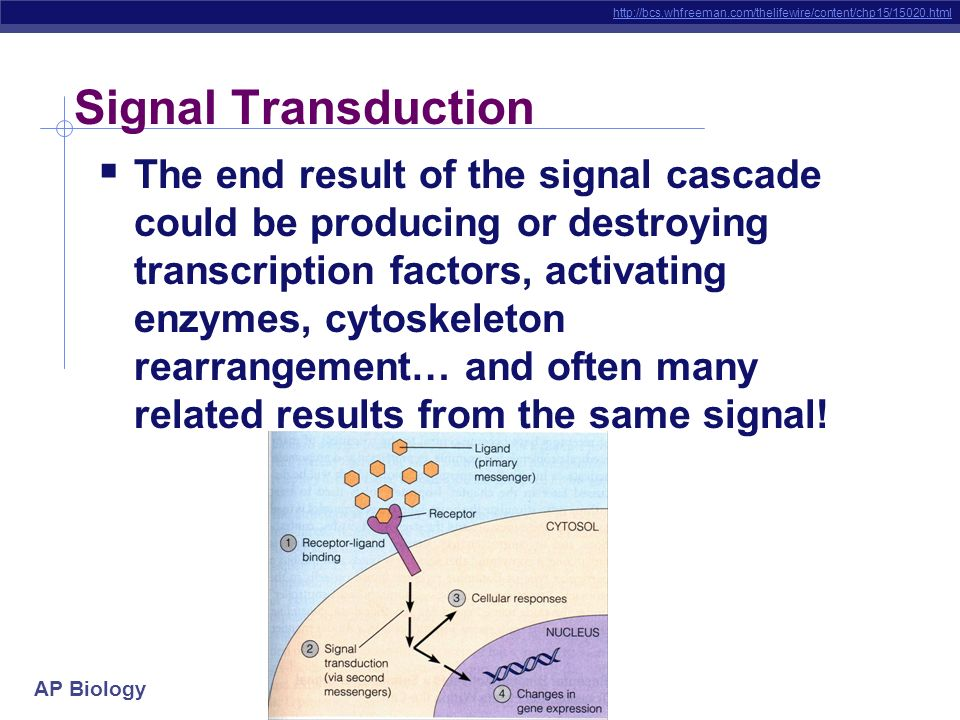 AP Biology Signal Transduction The receptor protein was an integral protein that spanned the membrane When it changes conformation, the part of it exp