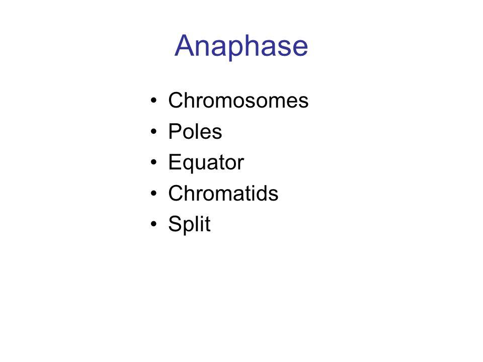 Anaphase Chromosomes Poles Equator Chromatids Split