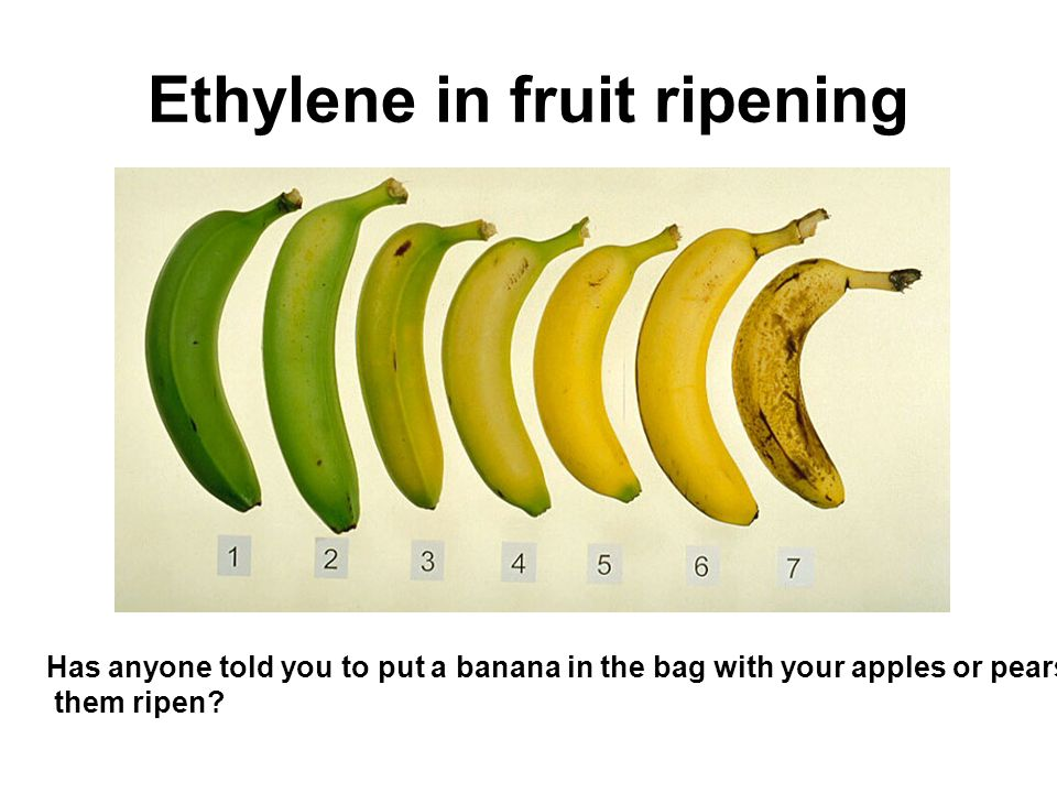 Ethylene in fruit ripening Has anyone told you to put a banana in the bag with your apples or pears to help them ripen?