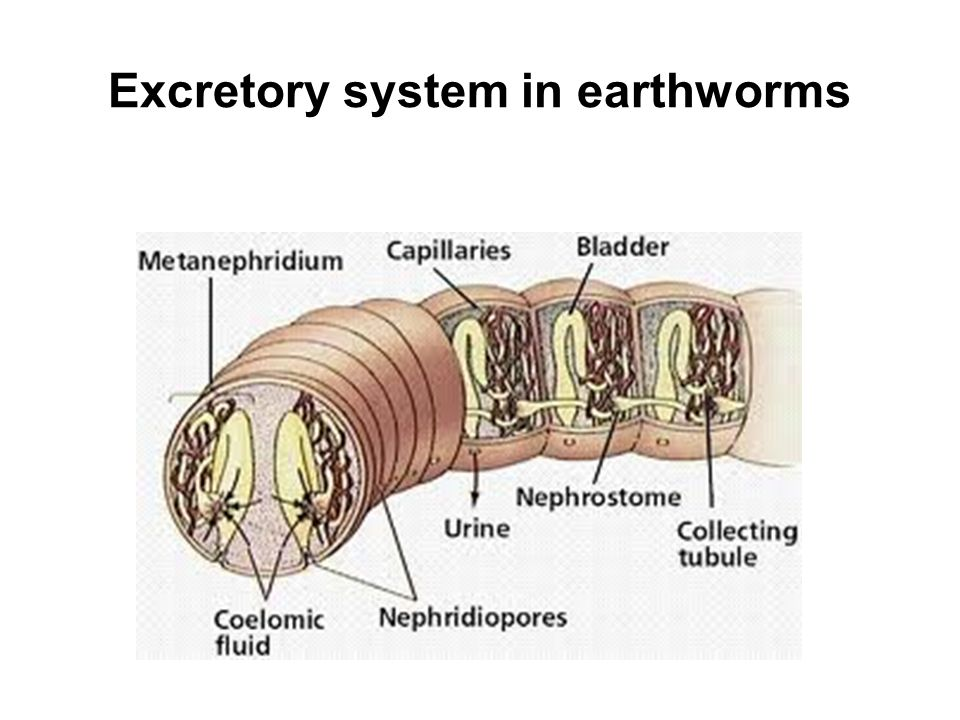 Excretory system in earthworms