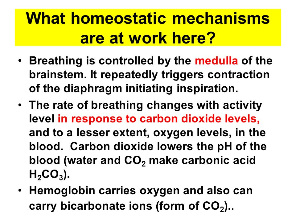 What homeostatic mechanisms are at work here? Breathing is controlled by the medulla of the brainstem. It repeatedly triggers contraction of the diaph
