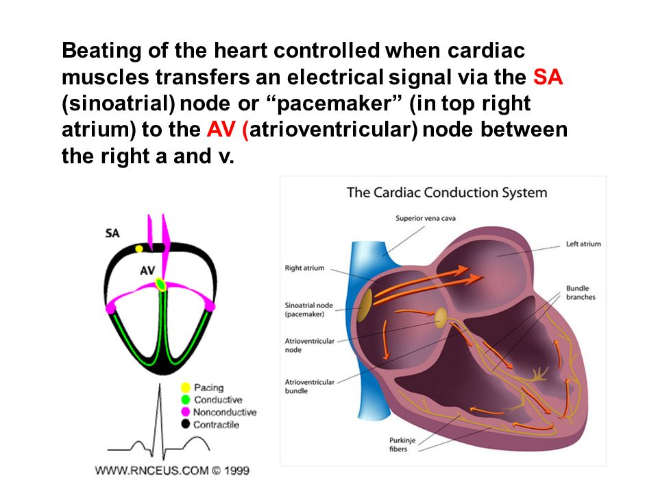 Beating of the heart controlled when cardiac muscles transfers an electrical signal via the SA (sinoatrial) node or pacemaker (in top right atrium) to