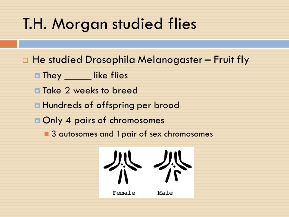 T.H. Morgan studied flies He studied Drosophila Melanogaster – Fruit fly They _____ like flies Take 2 weeks to breed Hundreds of offspring per brood O