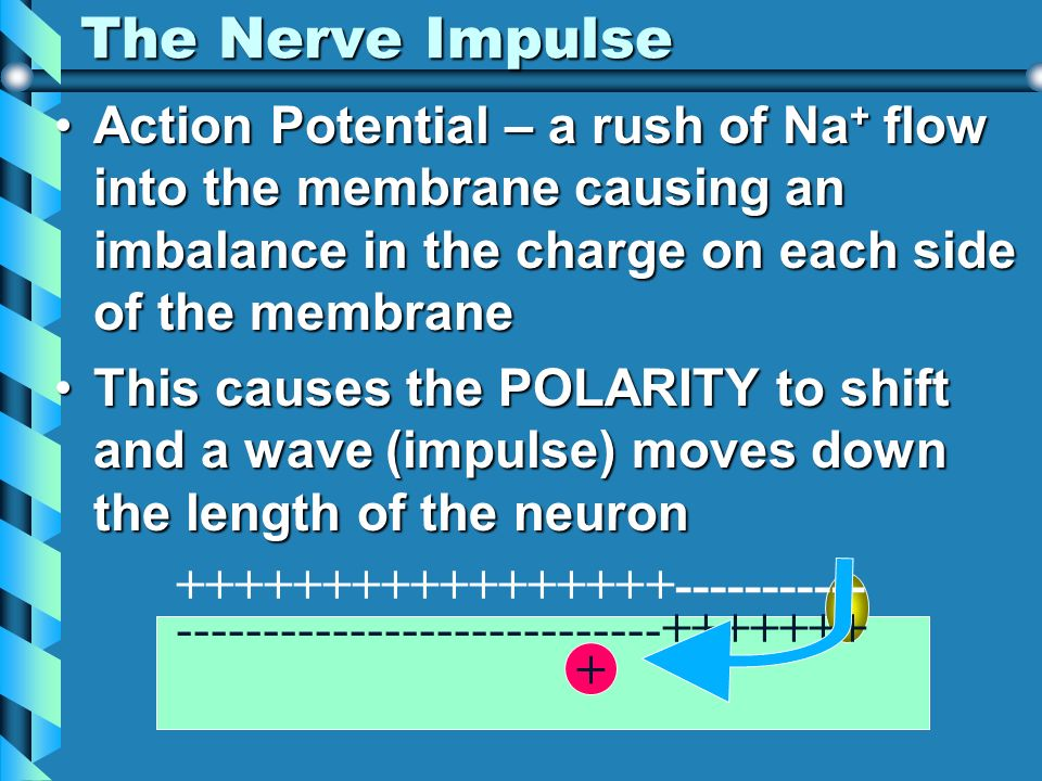 The Nerve Impulse Action Potential – a rush of Na + flow into the membrane causing an imbalance in the charge on each side of the membraneAction Poten