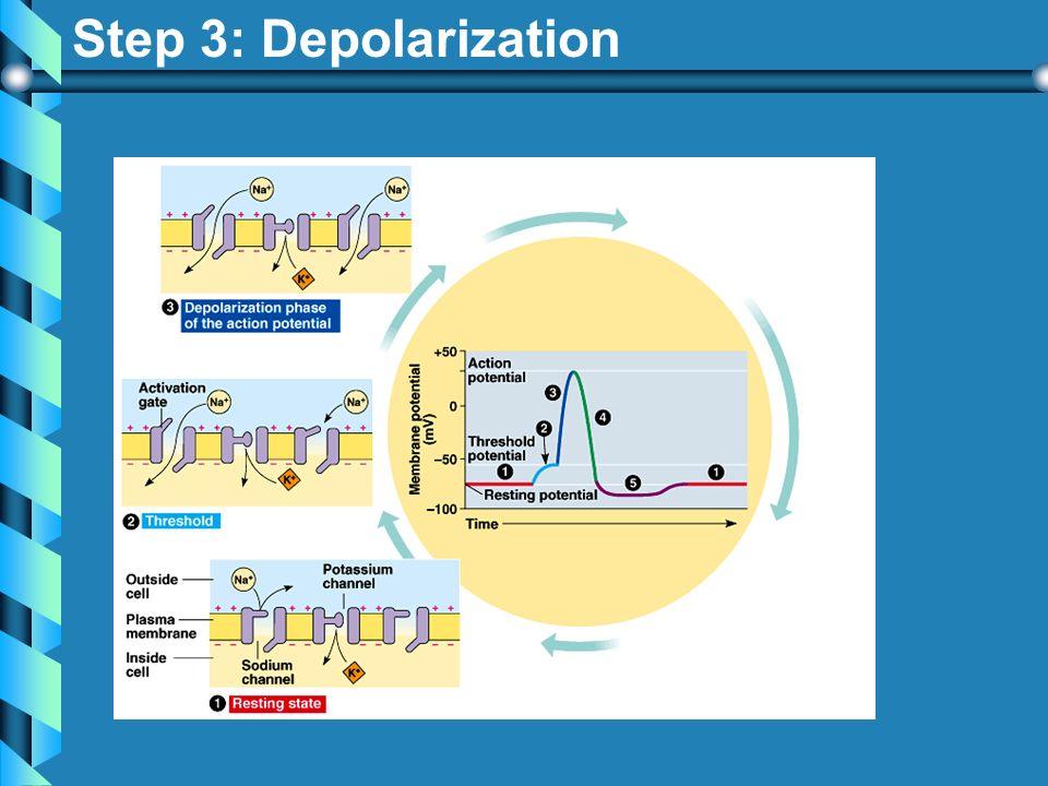 Step 3: Depolarization