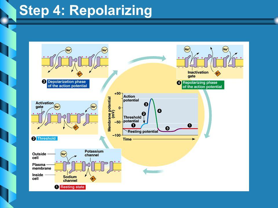 Step 4: Repolarizing