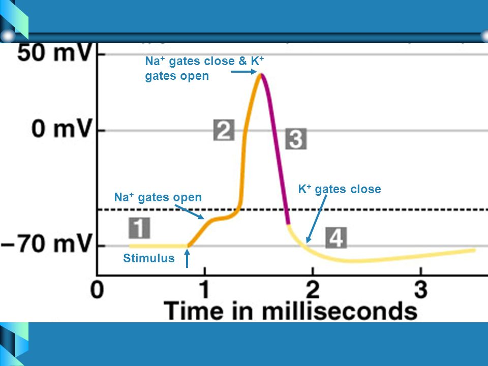 Stimulus Na + gates open Na + gates close & K + gates open K + gates close