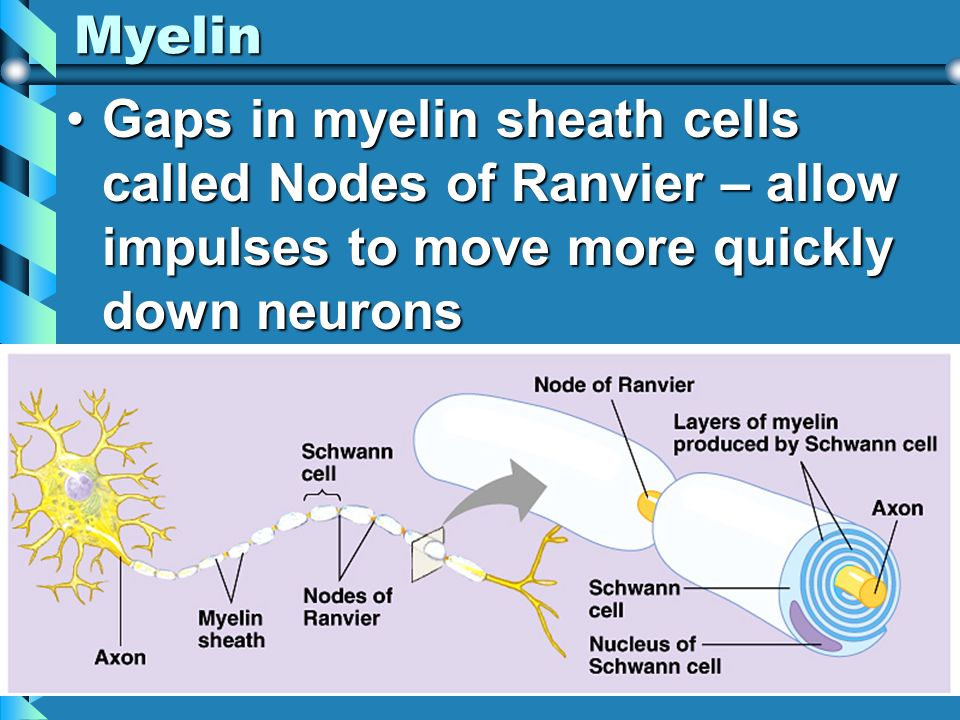 Myelin Gaps in myelin sheath cells called Nodes of Ranvier – allow impulses to move more quickly down neuronsGaps in myelin sheath cells called Nodes