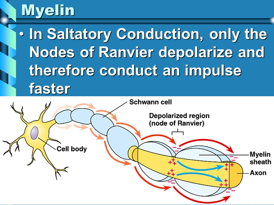 Myelin In Saltatory Conduction, only the Nodes of Ranvier depolarize and therefore conduct an impulse fasterIn Saltatory Conduction, only the Nodes of
