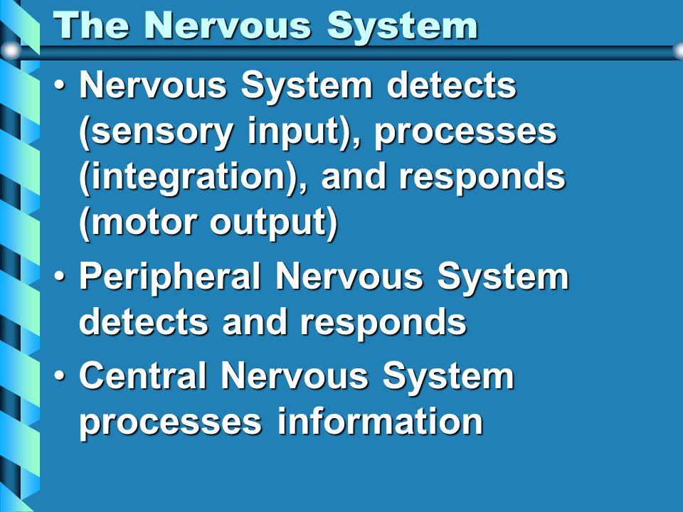 The Nervous System Nervous System detects (sensory input), processes (integration), and responds (motor output)Nervous System detects (sensory input),