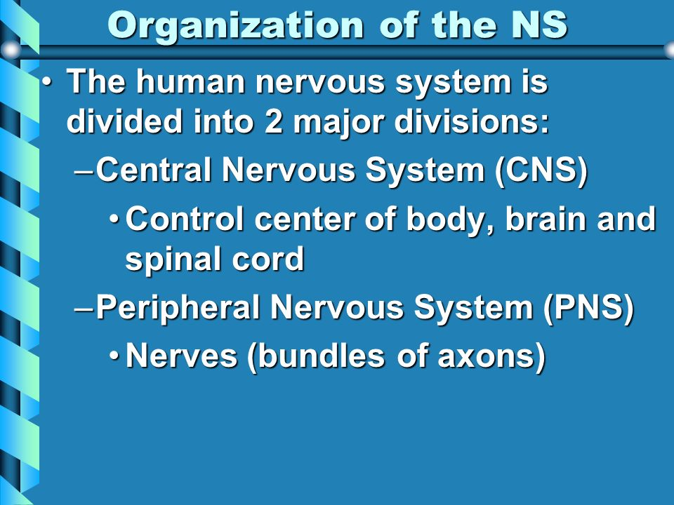 Organization of the NS The human nervous system is divided into 2 major divisions:The human nervous system is divided into 2 major divisions: –Central