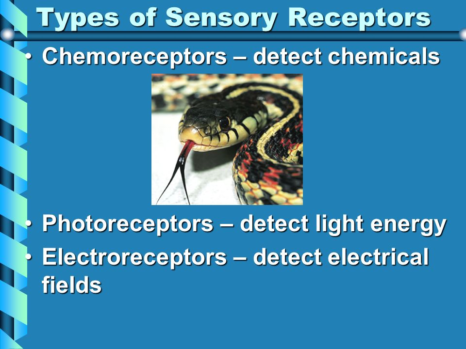 Types of Sensory Receptors Chemoreceptors – detect chemicalsChemoreceptors – detect chemicals Photoreceptors – detect light energyPhotoreceptors – det