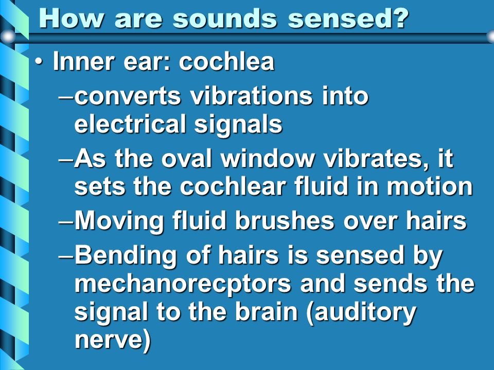 How are sounds sensed? Inner ear: cochleaInner ear: cochlea –converts vibrations into electrical signals –As the oval window vibrates, it sets the coc