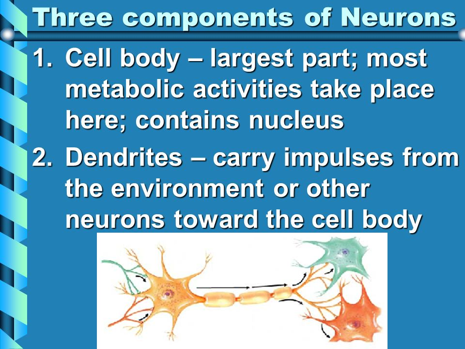 Three components of Neurons 1.Cell body – largest part; most metabolic activities take place here; contains nucleus 2.Dendrites – carry impulses from