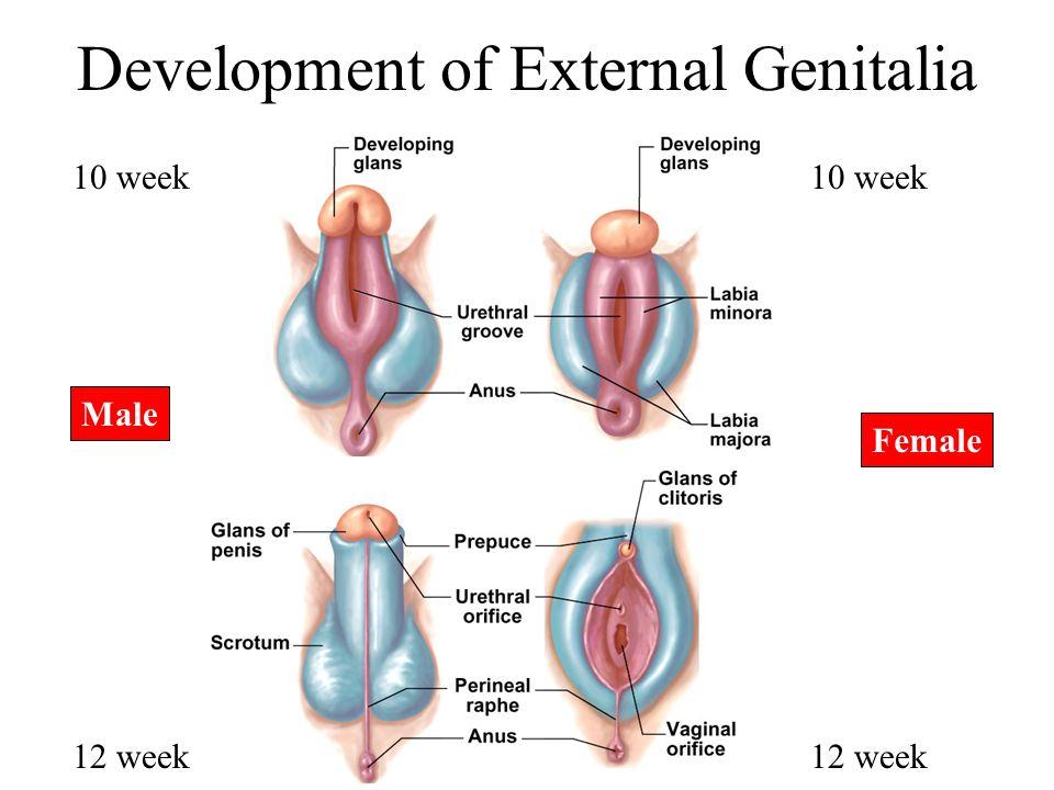 Development of External Genitalia Male Female 10 week 12 week