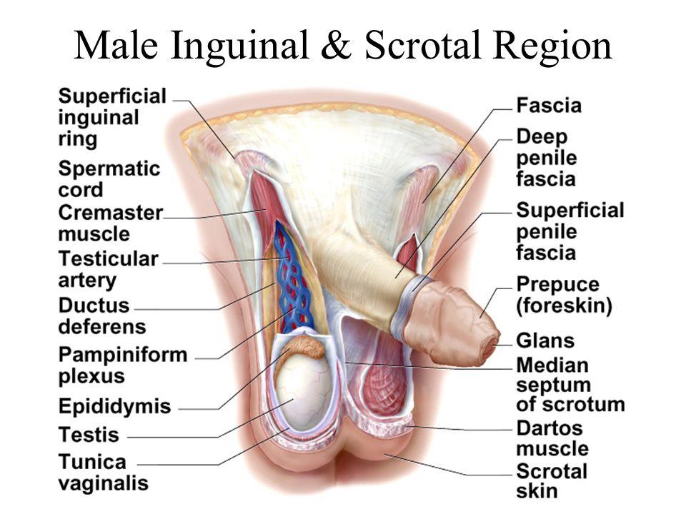 Male Inguinal & Scrotal Region