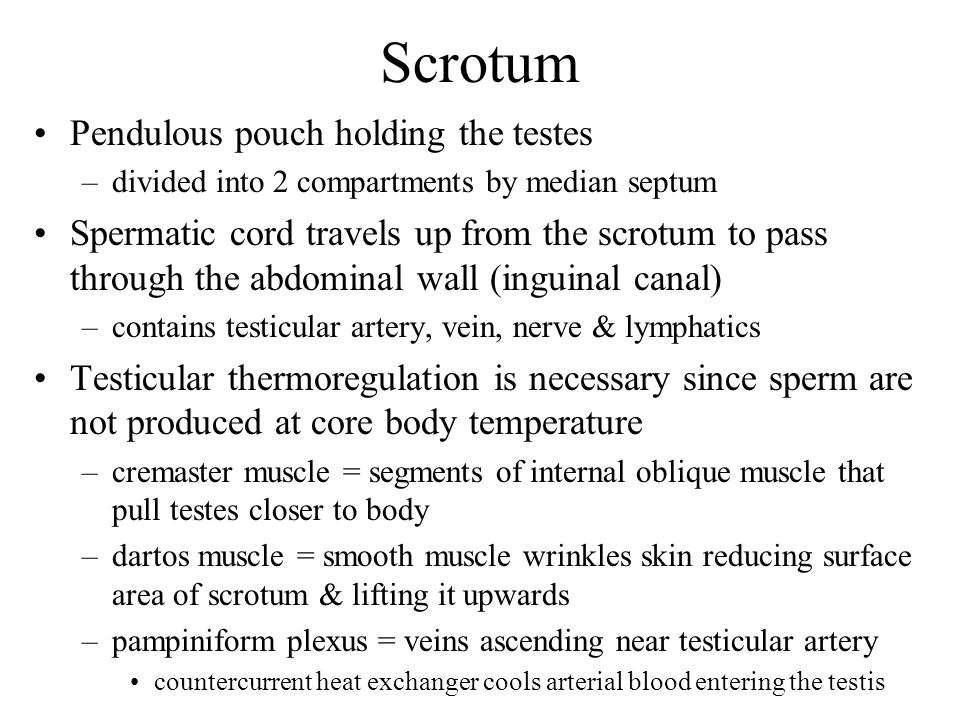 Scrotum Pendulous pouch holding the testes –divided into 2 compartments by median septum Spermatic cord travels up from the scrotum to pass through th