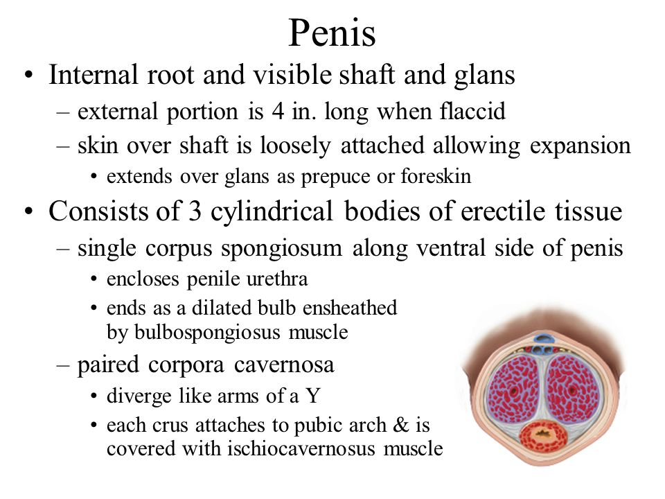Penis Internal root and visible shaft and glans –external portion is 4 in. long when flaccid –skin over shaft is loosely attached allowing expansion e