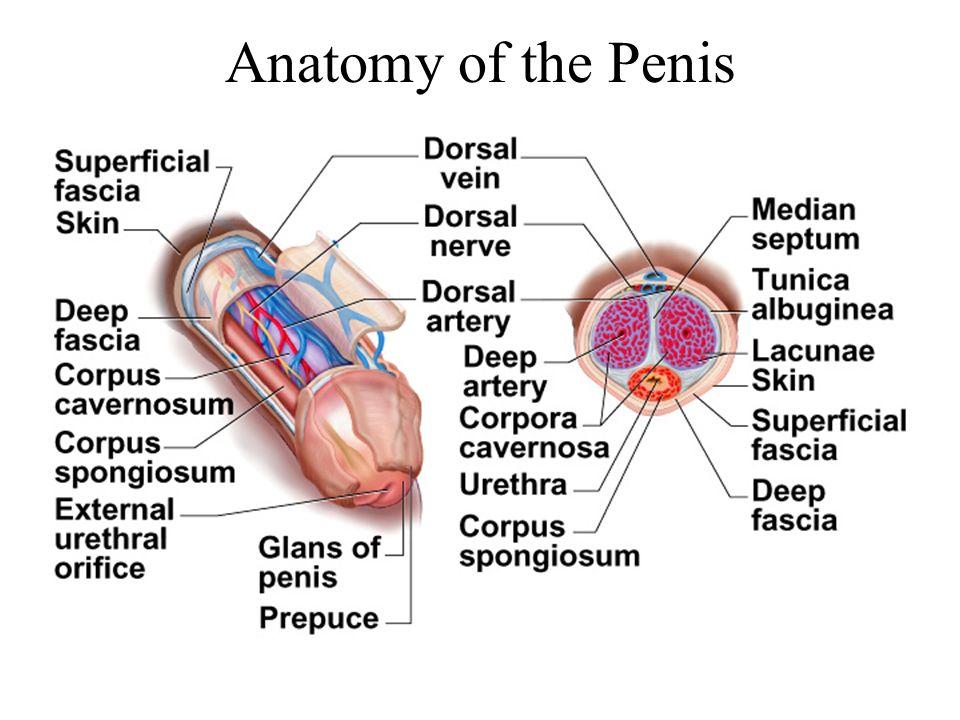 Anatomy of the Penis