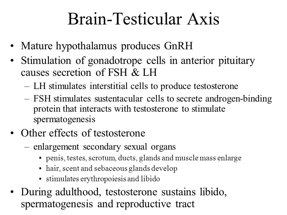 Brain-Testicular Axis Mature hypothalamus produces GnRH Stimulation of gonadotrope cells in anterior pituitary causes secretion of FSH & LH –LH stimul