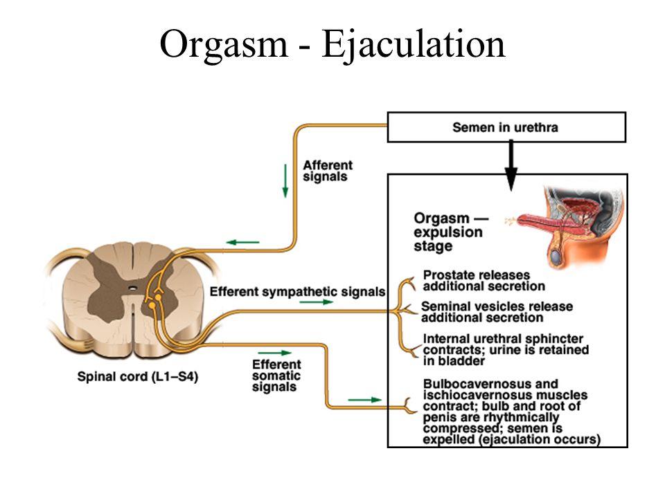 Orgasm - Ejaculation