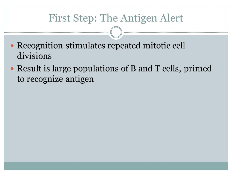 First Step: The Antigen Alert Recognition stimulates repeated mitotic cell divisions Result is large populations of B and T cells, primed to recognize