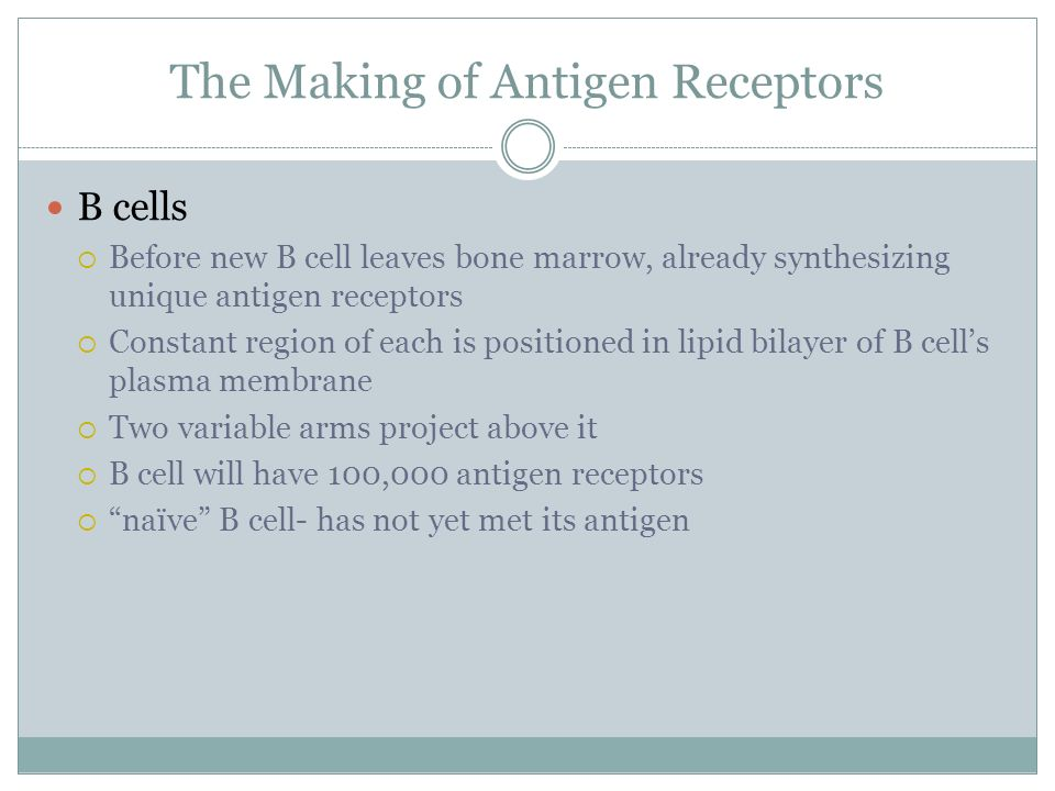 The Making of Antigen Receptors B cells Before new B cell leaves bone marrow, already synthesizing unique antigen receptors Constant region of each is