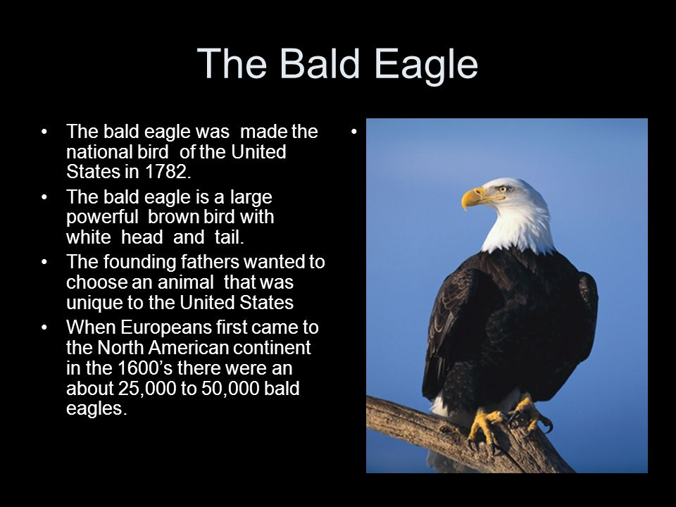 The Bald Eagle The bald eagle was made the national bird of the United States in 1782. The bald eagle is a large powerful brown bird with white head a