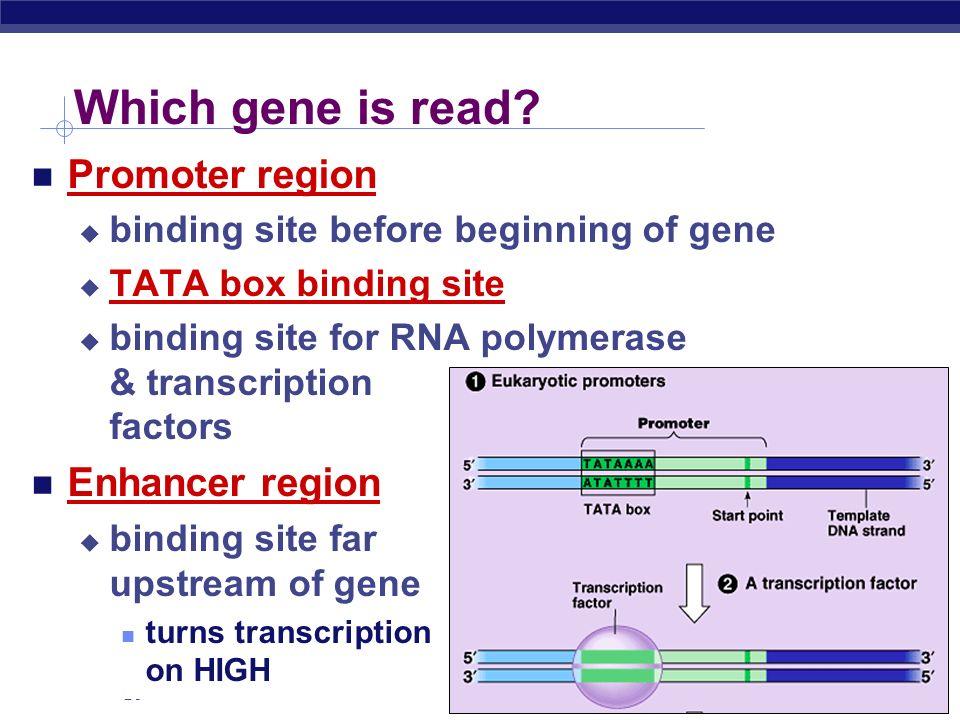 AP Biology RNA polymerases 3 RNA polymerase enzymes RNA polymerase 1 only transcribes rRNA genes makes ribosomes RNA polymerase 2 transcribes genes in