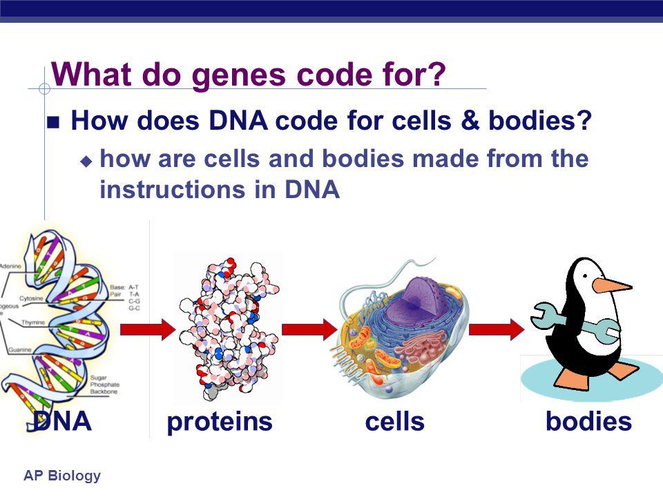 AP Biology Which gene is read.