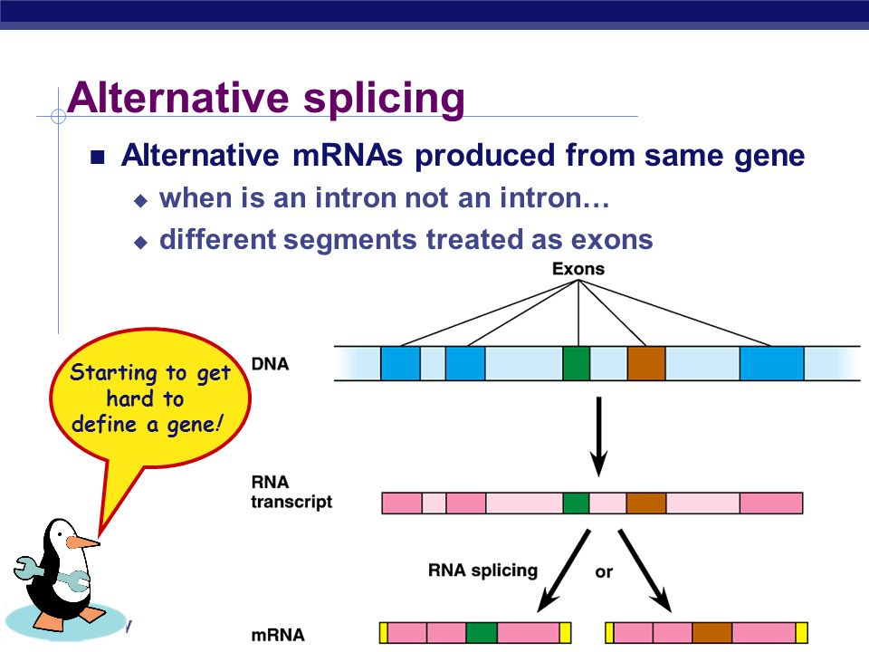AP Biology RNA splicing enzymes snRNPs exon intron snRNA 5'3' spliceosome exon excised intron 5' 3' lariat exon mature mRNA 5' No, not smurfs! snurps