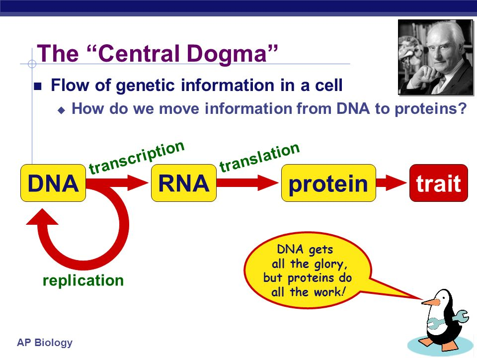 AP Biology What do genes code for? proteinscellsbodies How does DNA code for cells & bodies? how are cells and bodies made from the instructions in DN