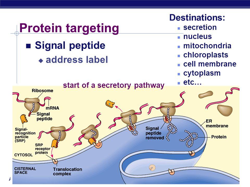 AP Biology Building a polypeptide Initiation brings together mRNA, ribosome subunits, initiator tRNA Elongation adding amino acids based on codon sequ