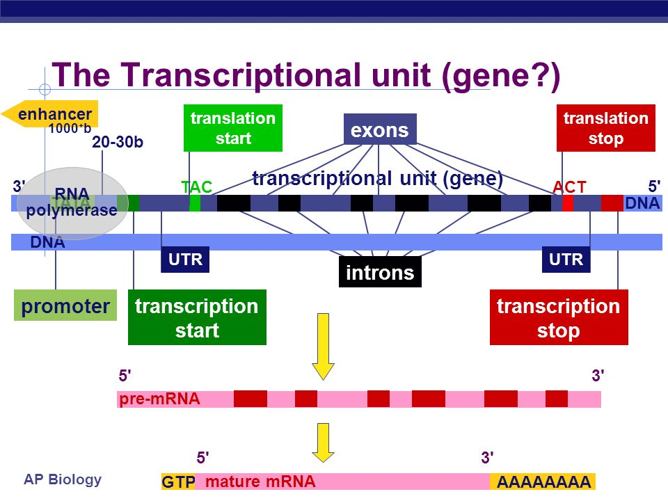 AP Biology Can you tell the story? DNA pre-mRNA ribosome tRNA amino acids polypeptide mature mRNA 5' GTP cap poly-A tail large ribosomal subunit small