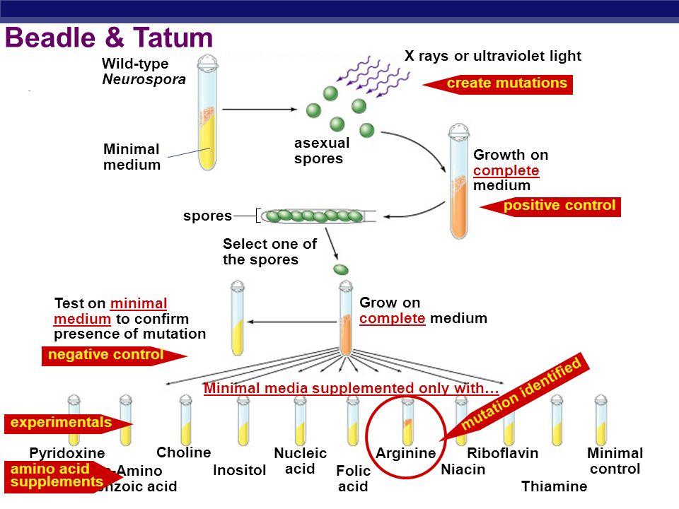 AP Biology Beadle & Tatum 1941 | 1958 George Beadle Edward Tatum