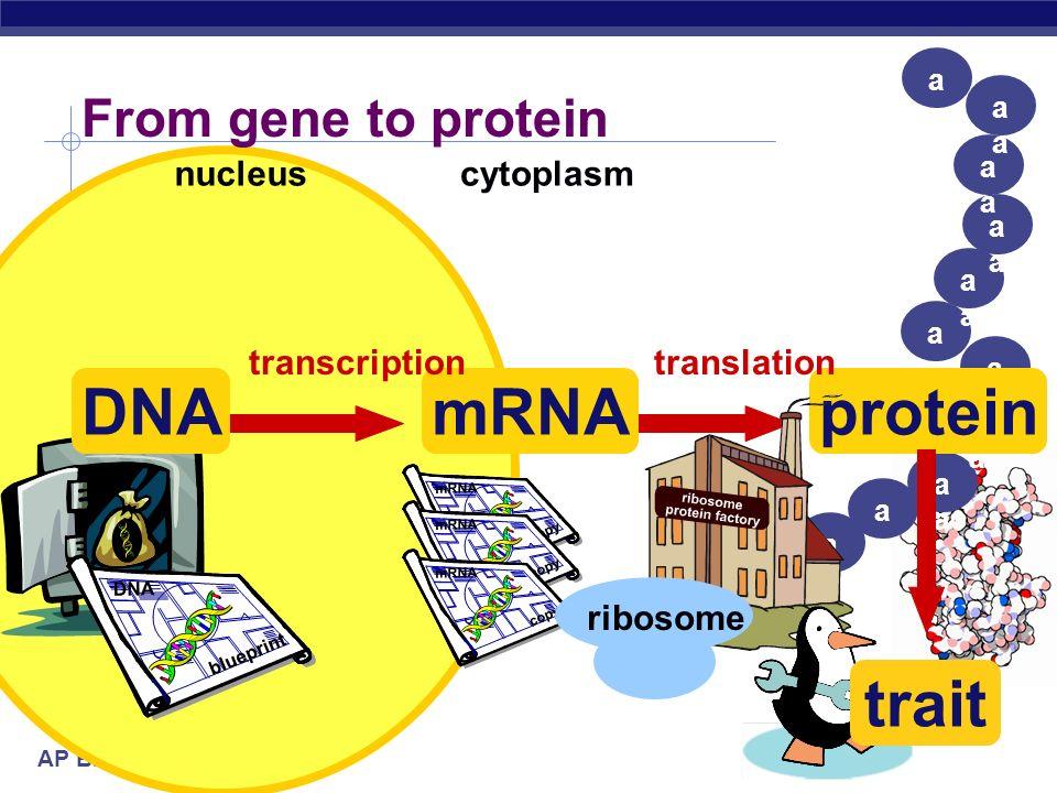 AP Biology 1960   1968 Marshall Nirenberg Har Khorana