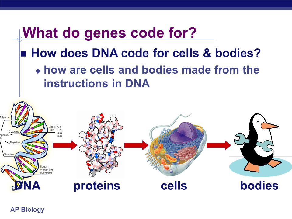 AP Biology What do genes code for.proteinscellsbodies How does DNA code for cells & bodies.