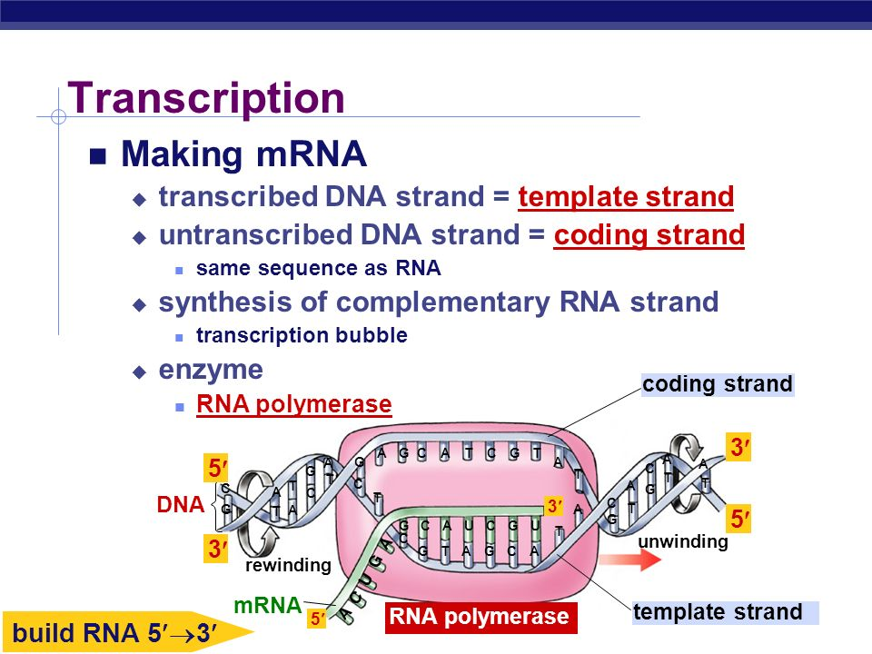 AP Biology Transcription Making mRNA transcribed DNA strand = template strand untranscribed DNA strand = coding strand same sequence as RNA synthesis of complementary RNA strand transcription bubble enzyme RNA polymerase template strand rewinding mRNA RNA polymerase unwinding coding strand DNA C C C C C C C C CC C G G G G GG GG G G G A A A AA A A A A A A A A T T T T T T T T T T T T UU 5 3 5 3 3 5 build RNA 5 3