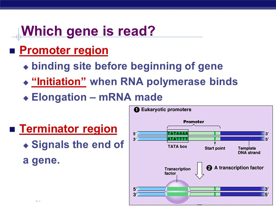 AP Biology Ribosomes Facilitate coupling of tRNA anticodon to mRNA codon organelle or enzyme.