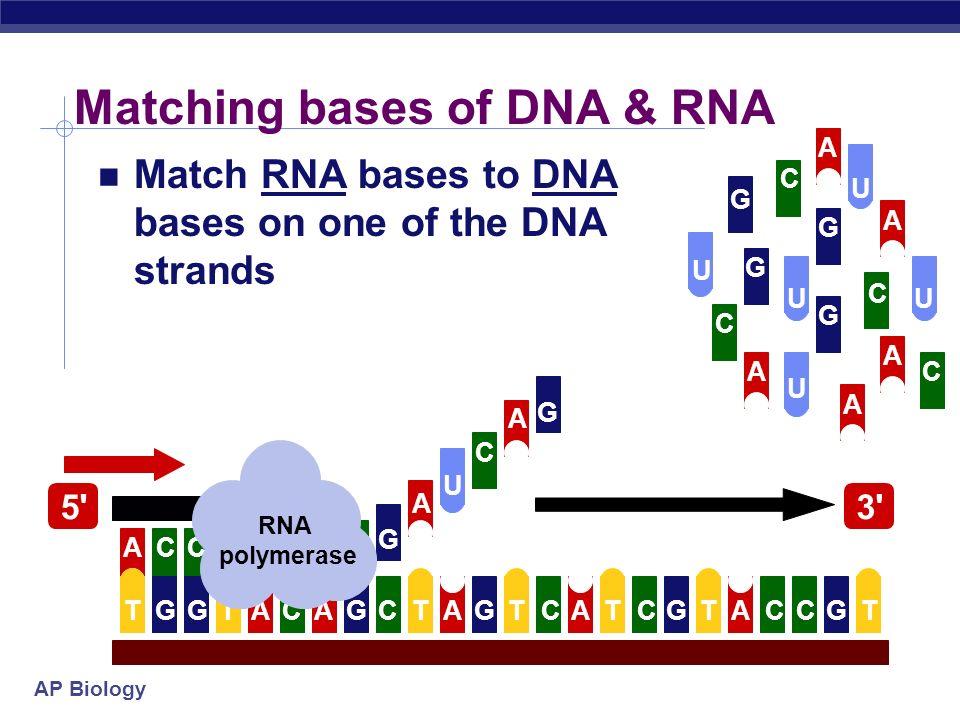 AP Biology Matching bases of DNA & RNA Match RNA bases to DNA bases on one of the DNA strands U AGGGGGGTTACACTTTTTCCCCAA U U U U U G G A A A CC RNA polymerase C C C C C G G G G A A A A A 5 3