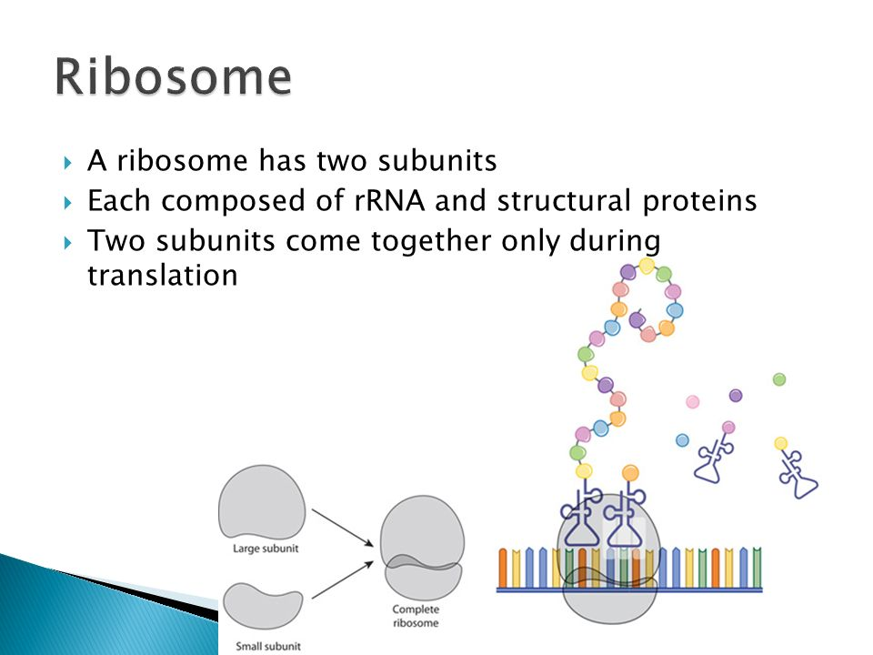 A ribosome has two subunits Each composed of rRNA and structural proteins Two subunits come together only during translation