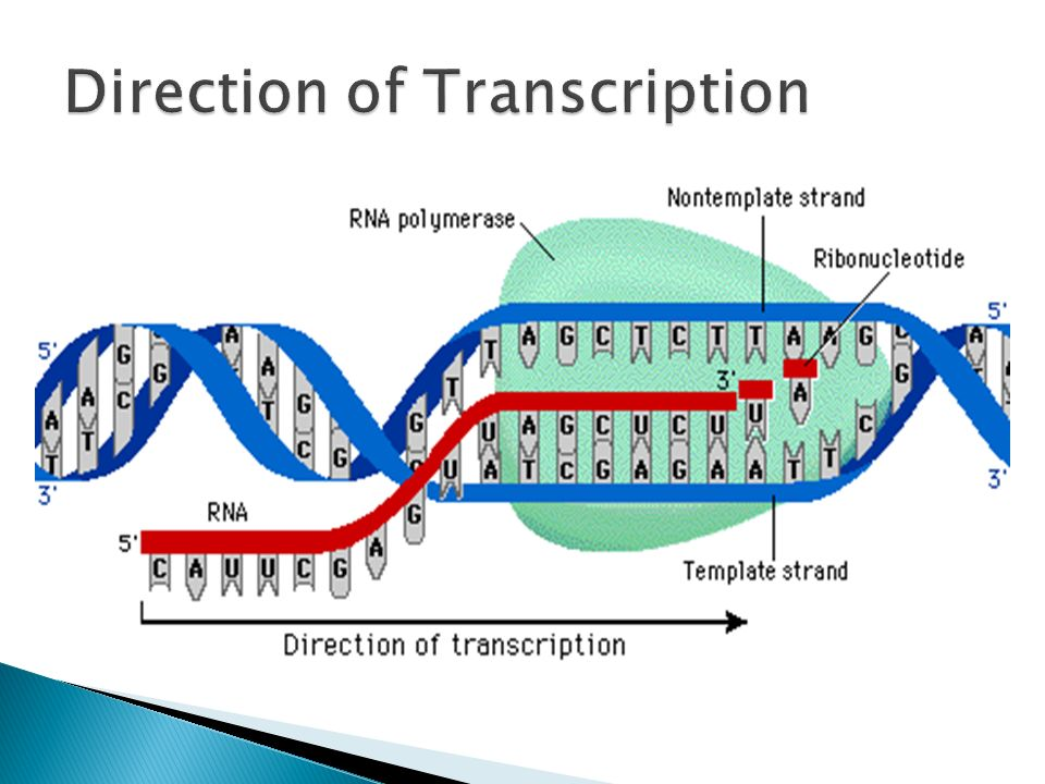 Transcription ends when RNA polymerase reaches the end signal RNA transcript is then released