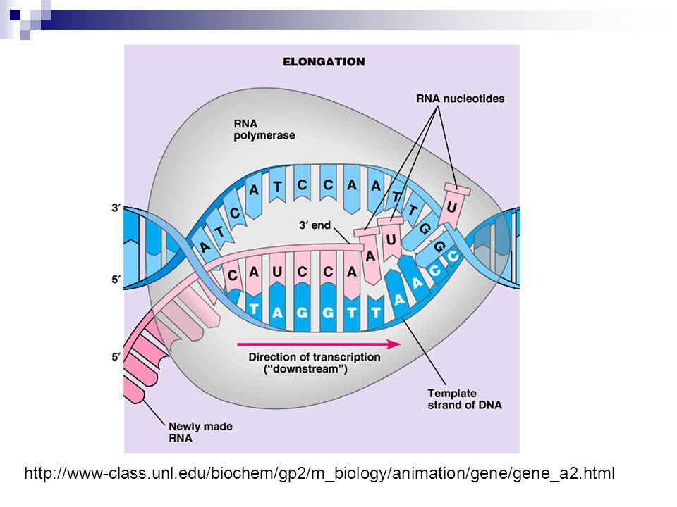 http://www-class.unl.edu/biochem/gp2/m_biology/animation/gene/gene_a2.html