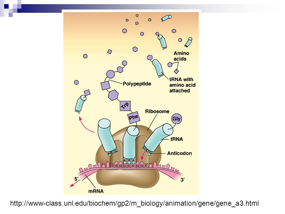 http://www-class.unl.edu/biochem/gp2/m_biology/animation/gene/gene_a3.html