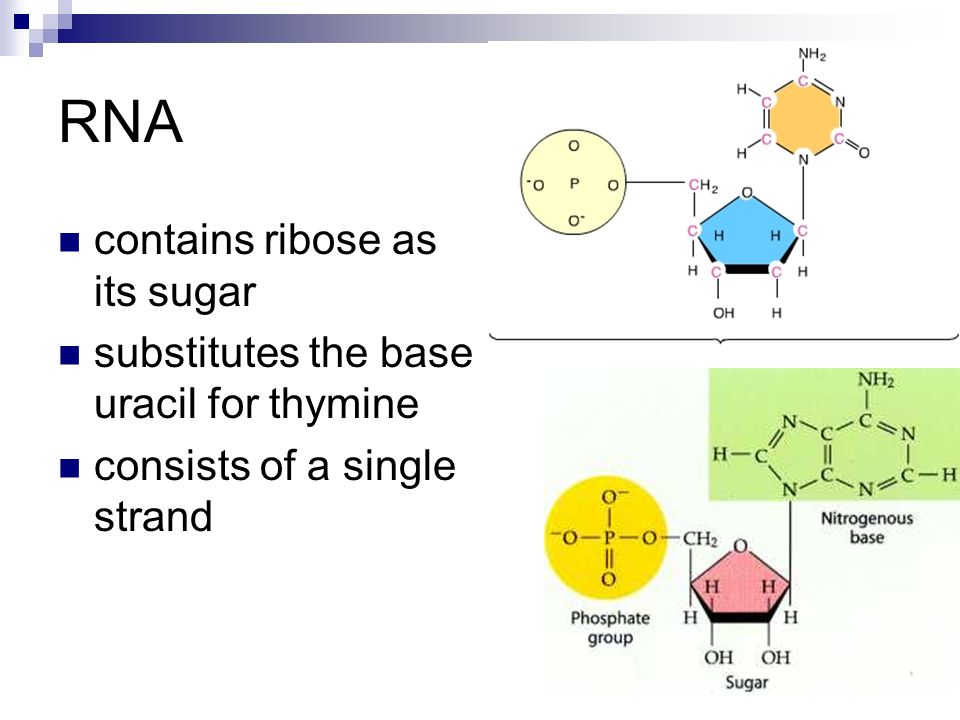 tRNA carries a specific amino acid at one end and has a specific nucleotide triplet, an anticodon, at the other The anticodon base-pairs with a complementary codon on mRNA