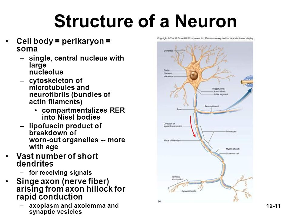 12-11 Structure of a Neuron Cell body = perikaryon = soma –single, central nucleus with large nucleolus –cytoskeleton of microtubules and neurofibrils