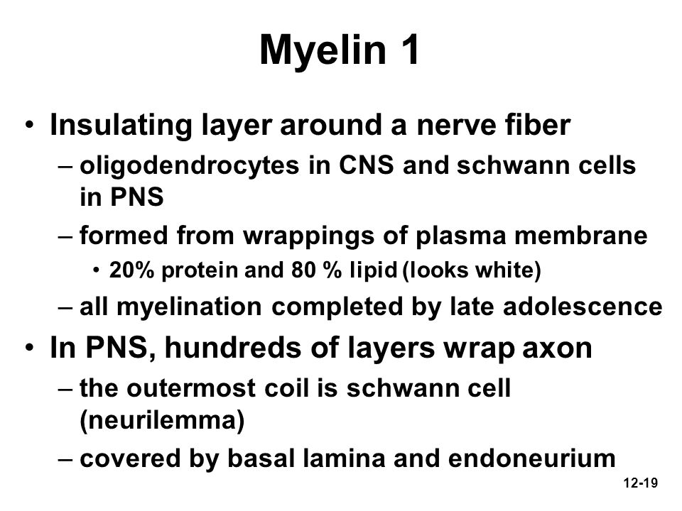 12-19 Myelin 1 Insulating layer around a nerve fiber –oligodendrocytes in CNS and schwann cells in PNS –formed from wrappings of plasma membrane 20% p