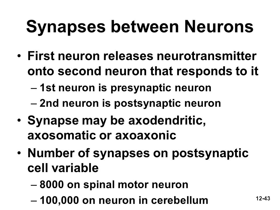 12-43 Synapses between Neurons First neuron releases neurotransmitter onto second neuron that responds to it –1st neuron is presynaptic neuron –2nd ne