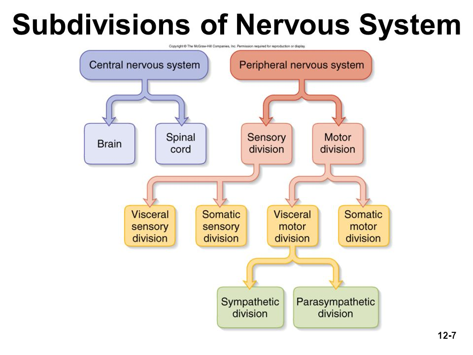 12-7 Subdivisions of Nervous System